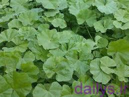 5e10a93b1bc10  irnab ir خواص درمانی گیاه توله (پنیرک گل ریز)