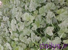 5e10a93d74f70  irnab ir خواص درمانی گیاه توله (پنیرک گل ریز)