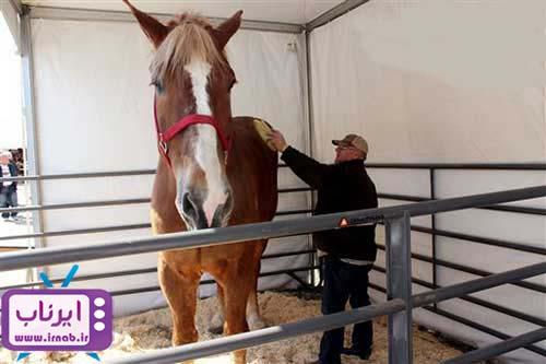 بزرگترین اسب دنیا irnab.ir  عکس رکورد گینس بزرگترین اسب دنیا