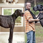 رکورد گینس بلندترین سگ دنیا