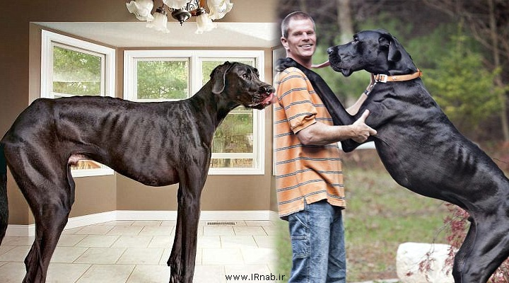 رکورد گینس بلدنترین سگ دنیا www irnab ir رکورد گینس بلندترین سگ دنیا | بلندترین سگ جهان | بزرگترین سگ دنیا