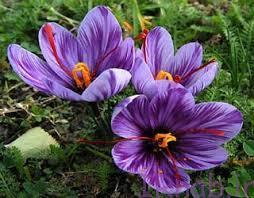 50 bisms.ir 2016 09 5 12 خواص دارویی زعفران را بشناسید