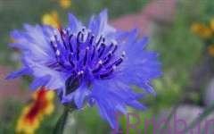 1 1 روش پرورش و رشد گل گندم