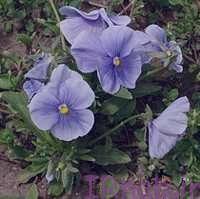 11 2 خواص دمنوش گیاهی گل بنفشه