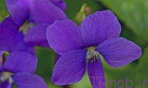 2 bisms.ir 2016 08 31 57 300x180 خواص دمنوش گیاهی گل بنفشه