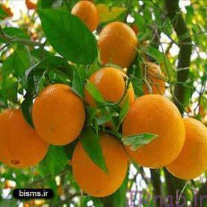 31 bisms.ir 2016 08 31 300x300 خواص پرتقال در دوران بارداری