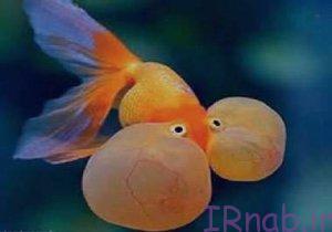 50 bisms.ir 2016 08 30 39 300x210 تعبیر خواب دیدن ماهی در رنگ های مختلف