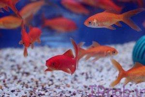 50 bisms.ir 2016 09 5 2 300x200 تعبیر خواب دیدن ماهی در رنگ های مختلف