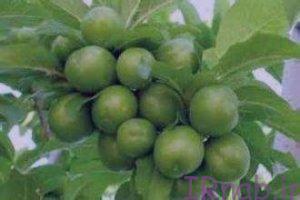 9 bisms.ir 2016 09 7 20 300x200 خواص گوجه سبز با نمک