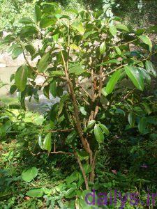 5a1fe13a5e648 keshtderakht darchindariran irnab ir کشت درخت دارچین در ایران