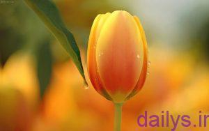 5a2029c394fea axhaeeaznaghashi ghollale irnab ir عکس هایی از نقاشی گل لاله