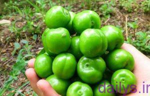 khavas ghojesabz irnab ir خواص گوجه سبز