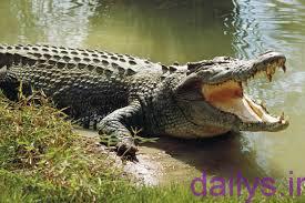 5b2e06fe1860d tabirkhab temsah irnab ir تعبیرخواب تمساح