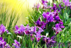 moarefi gholzanbagh irnab ir معرفی گل زنبق