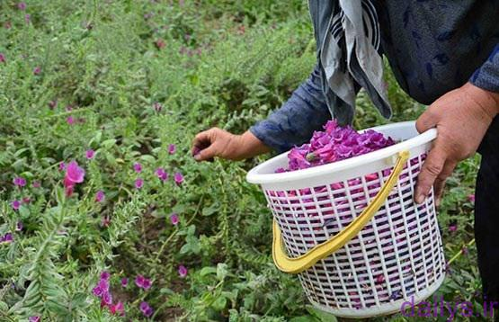راهنمای کامل کاشت گل گاوزبان irnab ir راهنمای کامل کاشت گل گاوزبان