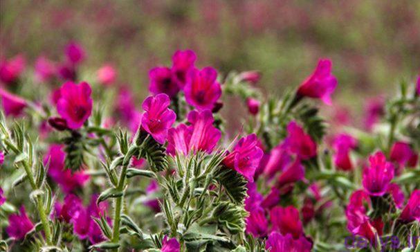 5d57b18ca48b8 راهنمای کامل کاشت گل گاوزبان irnab ir راهنمای کامل کاشت گل گاوزبان