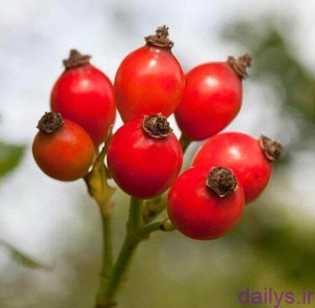 khavas shegeft angiz mive gol nastaran irnab ir خواص شگفت انگیز میوه گل نسترن